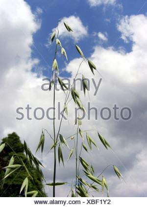 wild-oat, wild oats (Avena fatua), panicle, Germany, North Rhine-Westphalia - Stock Photo