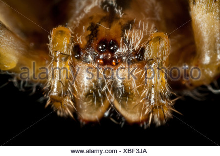 cross orbweaver, European garden spider, cross spider (Araneus diadematus), portrait, 8 eyes and chelicerae, Germany - Stock Photo