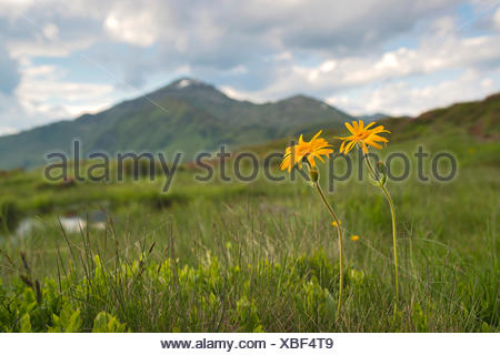Leopard's Bane, Wolf's Bane, Mountain Tobacco or Mountain Arnica (Arnica montana), Naunz, Schwaz, Tyrol, Austria, Europe - Stock Photo