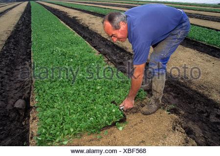 coupe manuelle, agriculture maraichere de mache (Valerianella locusta), region de Nantes, departement de Loire-Atlantique, region Pays de la Loire, - Stock Photo