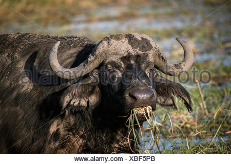 African or Cape buffalo (Syncerus caffer) feeding, Chobe River, Chobe National Park, Botswana - Stock Photo
