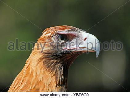 wedge eagle berry portrait keilschwanzadler tailed australien greifvogel springs keilschwanzadler aquila audax wedge tailed - Stock Photo
