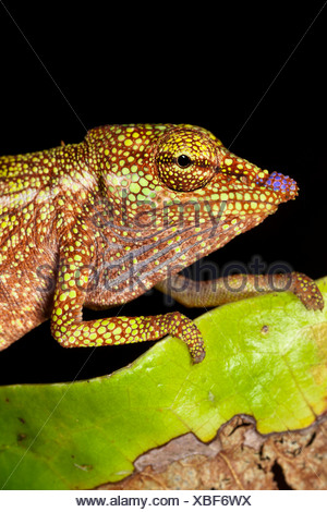 Boettger's / Blue nosed chameleon Masoala Peninsula National Park, Madagascar. - Stock Photo