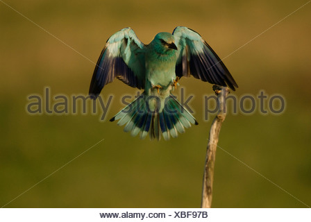 Europe, Hungary, View of European roller bird with spread wings, close-up - Stock Photo