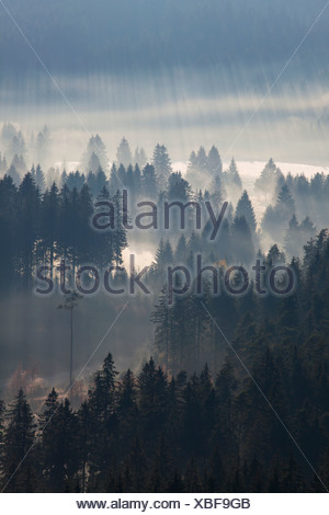 Sun rays in a forest with early morning fog at Schluchsee Lake in the Black Forest, Baden-Wuerttemberg, Germany, Europe - Stock Photo