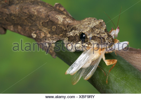 Kuhl's Flying Gecko (Ptychozoon kuhli) adult, feeding on orchid mantid, Tropical Asia - Stock Photo