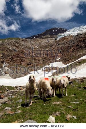 sheeps on high pastures on Hannig 2336 m, Feeglatscher above, Fee glacier above, Saas-Fee, Wallis, Valais, Switzerland. - Stock Photo