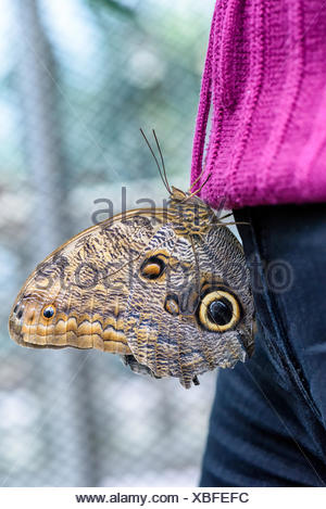 Owl Butterfly (Caligo eurilochus, Bananenfalter) sitting on the purple sweater of a woman - Stock Photo