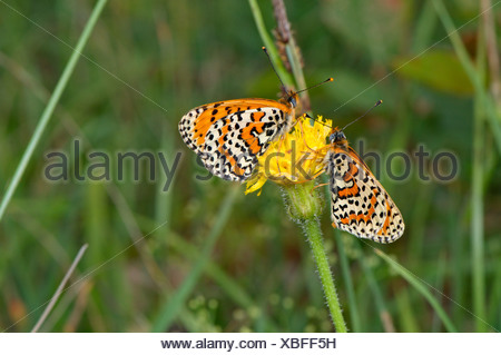 Spotted Fritillary, Melitaea didyma, butterfly, butterflies, insect, insects, protected, indigenous, orange, white, spotted, ani - Stock Photo