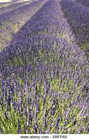 Lavender in Provence - Stock Photo