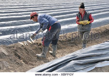 two Armenian helpers at the aspergus harvest, Germany, North Rhine-Westphalia, Koeln-Meschenich, Cologne - Stock Photo