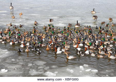 Waterfowl diversity: mallards, lesser scaup, american wigeons, canvasback ducks, and Canada geese. - Stock Photo