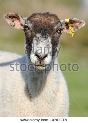 A portrait of a sheep looking serious, tagged and wearing an ear clip. - Stock Photo