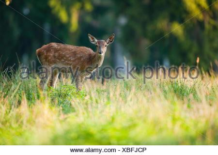 Red deer (Cervus elaphus), fawn, captive, Saxony, Germany - Stock Photo