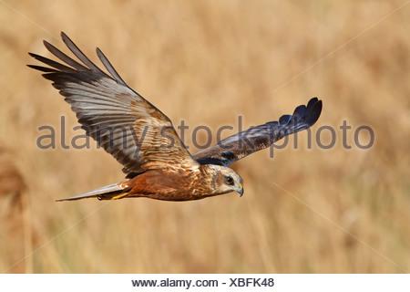 Western Marsh-harrier (Circus aeruginosus) flying - Stock Photo