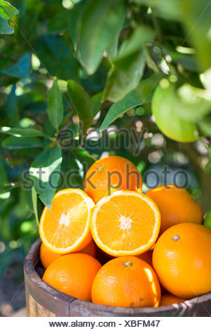 wooden bucket full of oranges against green foliage of an orange tree - Stock Photo