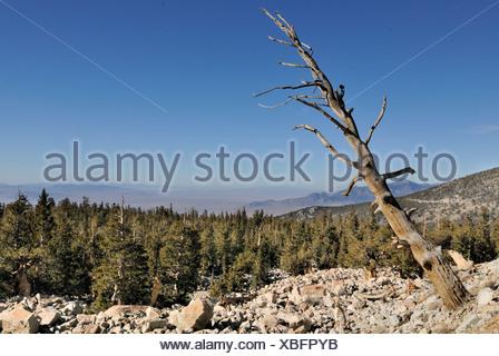 Dead Bristlecone Pine (Pinus aristata), Bristlecone Pine Grove, Great Basin National Park, Nevada, USA - Stock Photo