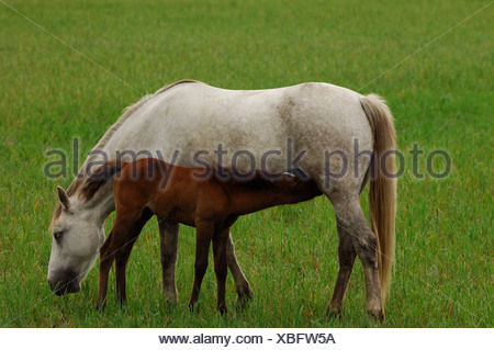 White Camargue horses nursing a brown foal, La Camargue, Provence, France, Europe - Stock Photo