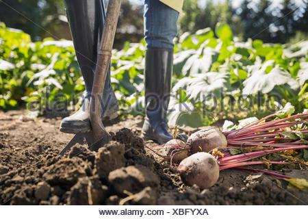 Woman harvesting rutabaga in vegetable garden - Stock Photo