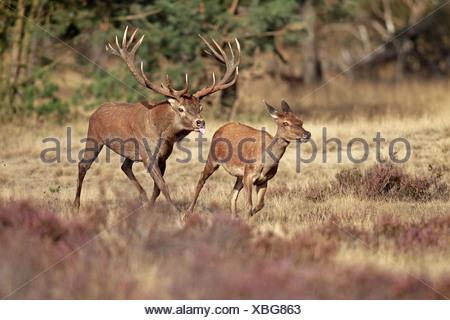 Red Deer (Cervus elaphus) mature stag following hind during rutting season running in wooded heathland Hoge Veluwe N.P. - Stock Photo