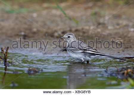 Juvenile white wagtail (Motacilla alba) in the water, Holnis nature reserve, Schleswig, Holstein, Germany - Stock Photo