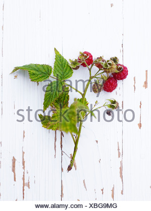 Scandinavia, Sweden, Twig of raspberry on wooden background, close-up - Stock Photo