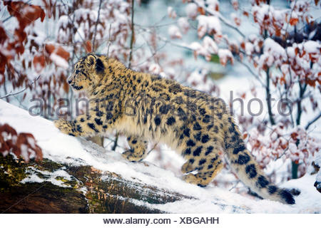 snow leopard (Uncia uncia, Panthera uncia), young animal in snow - Stock Photo