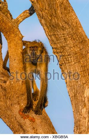 Baboons in trees, Lebala Camp, Kwando Concession. - Stock Photo