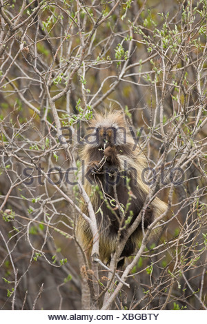 A porcupine feeds on willow buds along the Denali Park Road in early summer - Stock Photo