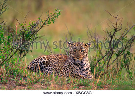 leopard (Panthera pardus), lying in thicket, Kenya, Masai Mara National Park - Stock Photo