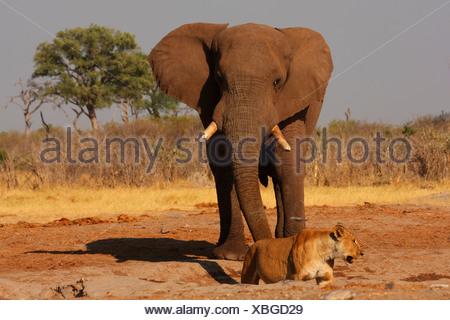 African elephant (Loxodonta africana), with lion at a waterhole, Botswana, Chobe National Park - Stock Photo