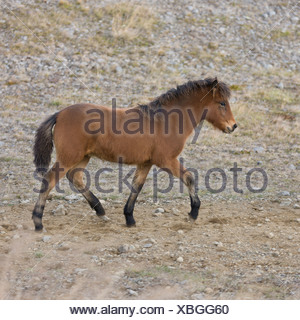 Young foal, Horse round up, Skagafjordur, Iceland - Stock Photo