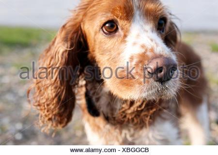 Mischlingshund aus Cocker Spaniel und King Charles Spaniel, Nahaufnahme, - Stock Photo