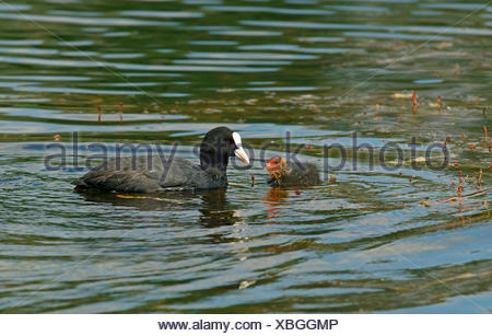 Eurasian Coot (Fulica atra) adult bird with a chick, Mecklenburg-Western Pomerania, Germany - Stock Photo