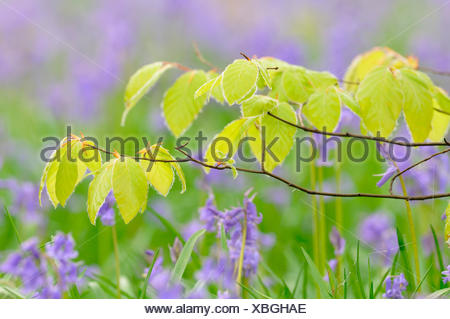Young leaves on a red beech branch (Fagus sylvatica) in front of Atlantic bluebells (Hyacinthoides non-scripta), Germany - Stock Photo
