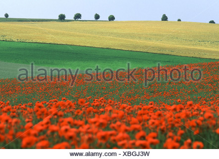 Field of Poppies (Papaver sp.), France - Stock Photo