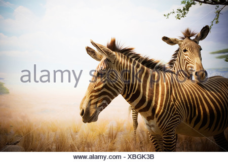 Diorama with two Grevy's zebras (Equus grevyi). - Stock Photo