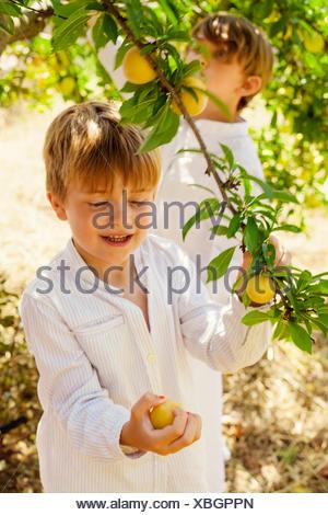 Spain, Menorca, Boys ( 4-5, 6-7) picking up fruits - Stock Photo
