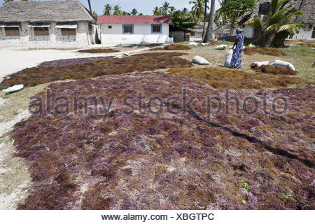 A woman worked to dry seaweed designed - Stock Photo