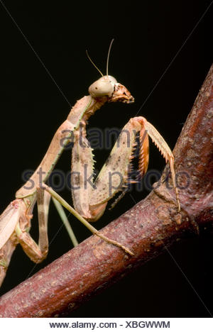 Budwing Mantis (Parasphendale agrionina), portrait - Stock Photo