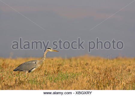 grey heron (Ardea cinerea), hunting in a stubble field, Germany, Rhineland-Palatinate - Stock Photo