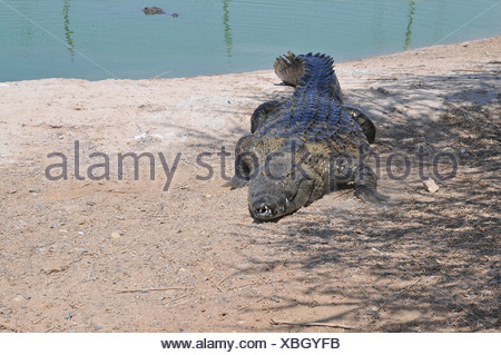 Israel, Aravah, Crocodile and alligator breeding farm - Stock Photo