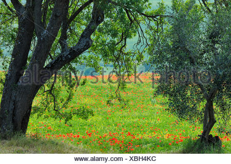 Tuscany Countryside with Olive Tree in Spring, Val d' Orcia, Castiglione d' Orcia, Italy, Tuscany - Stock Photo