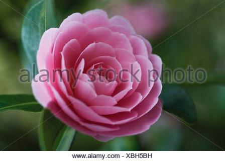 Camellia x williamsii 'Monica Dance', Camellia - Stock Photo
