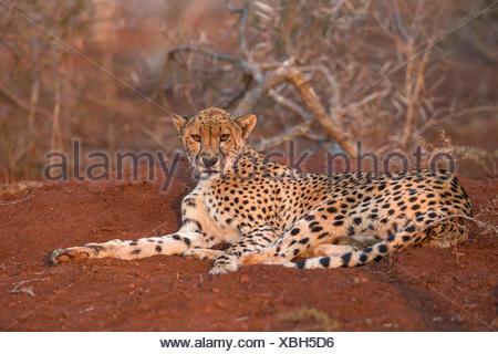 Resting adult female cheetah (Acinonyx jubatus), Zimanga Private Game Reserve, KwaZulu-Natal, South Africa - Stock Photo