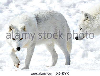 Arctic Wolf, Canis lupus arctos, on the prowl, Canada - Stock Photo