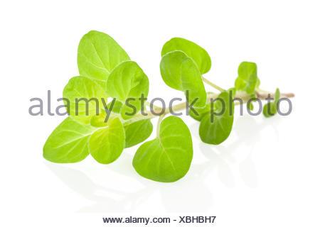 Marjoram herb isolated. - Stock Photo