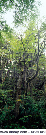A primeval dense and lush Southern Beech forest in an alpine valley. - Stock Photo