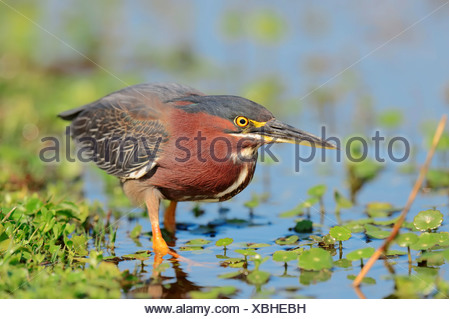 Green Heron (Butorides striatus virescens, Butorides virescens), Florida, United States Stock Photo