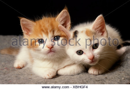Domestic cat two fluffy ginger and white kittens 4 four weeks old United Kingdom - Stock Photo